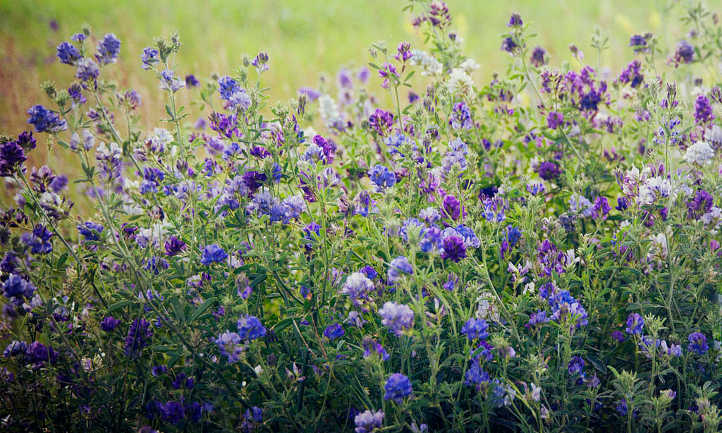 Alfalfa Meal: From Feedstock To Fertilizer