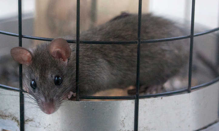 Best Rat Bait: The Right Way To Lure In Pesky Rodents