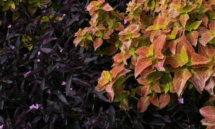 Wandering jew and coleus