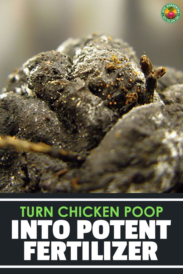 Chicken manure makes for a fantastic fertilizer. Find out the ins and outs of composting and using chicken poop in your garden!