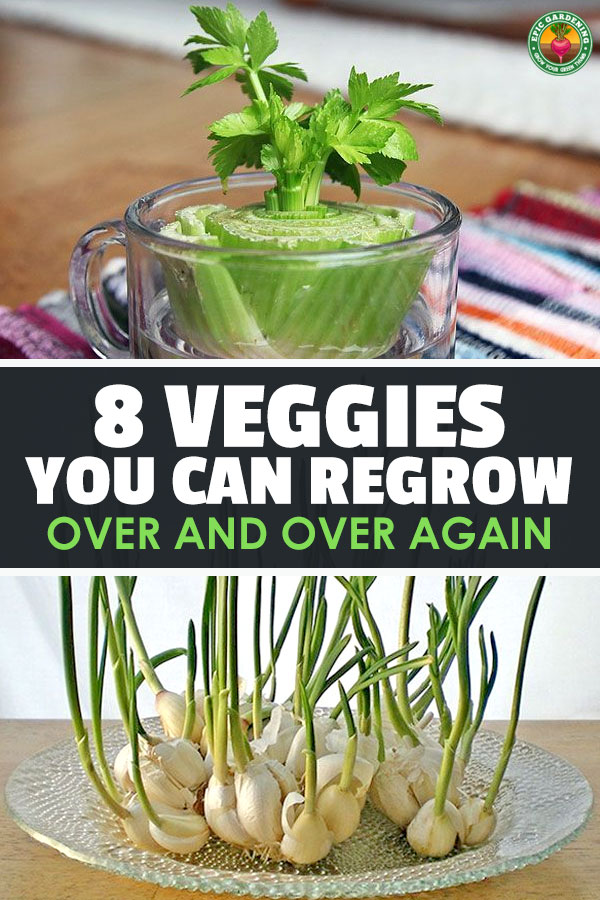 Unbeknownst to many gardeners, there are vegetables you can regrow just by taking cuttings, continually harvesting, or using the tops. Makes for much quicker growing time, check it out!