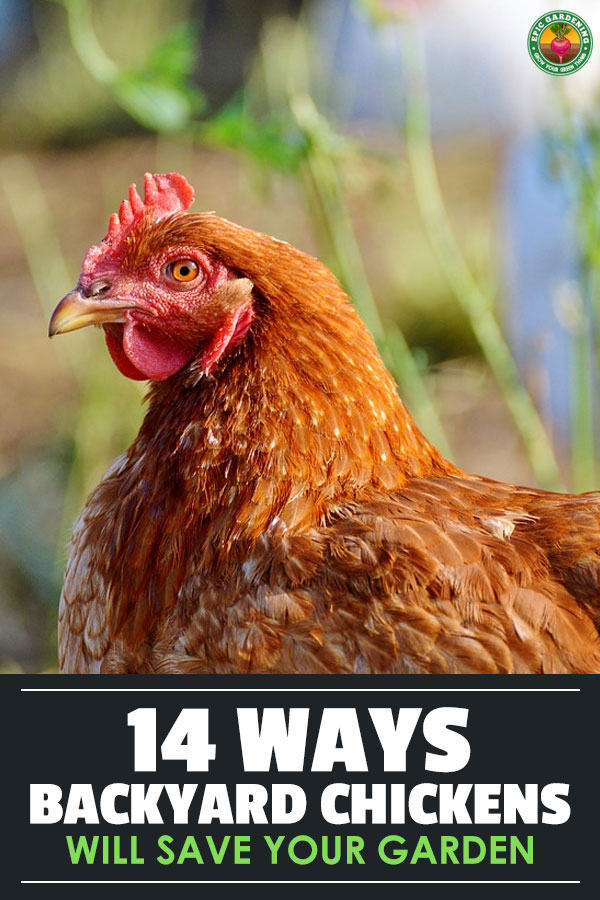 Keeping and raising chickens over the last several years has really grown in popularity. Thousands of American's now raise backyard chickens and gain the benefit of fresh eggs every day.