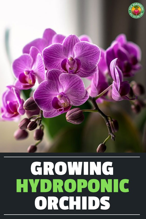 Orchids are some of the most beautiful flowers on Earth. Learn how to grow hydroponic orchids to boost growth and enjoy more of these gorgeous flowers.
