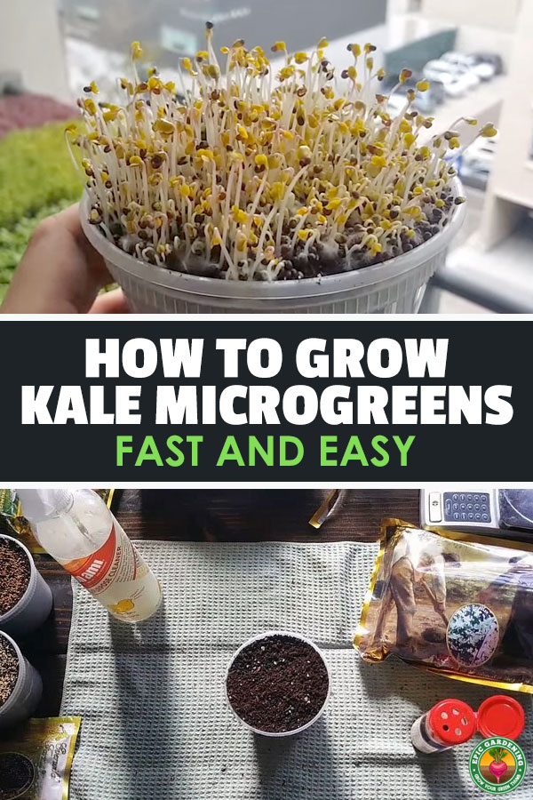 Kale microgreens are some of the faster and easier to grow micros out there, making them a great starter crop for beginners. It\'s hard to mess these up!