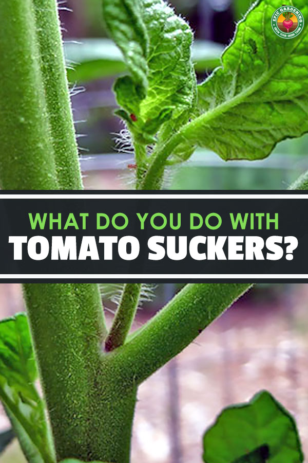 What you should do with tomato suckers has been debated for a long time amongst gardeners. Learn everything you need to know right here.