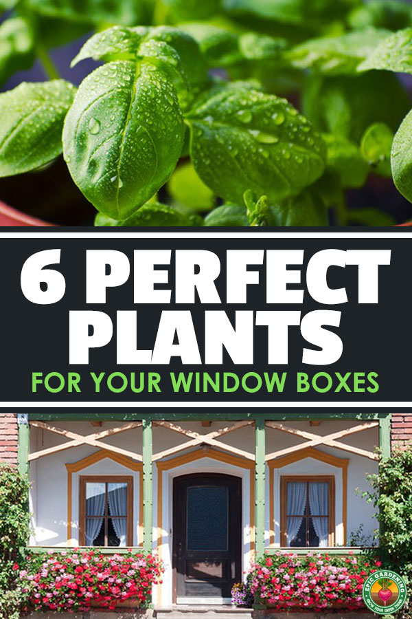 The best plants for window boxes are split into edible and ornamental, with three recommendations for each. Find them out in this quick tips guide.