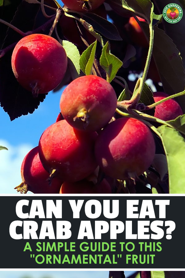 It\'s a question as old as time...are crabapples edible? You\'ll be surprised at the answer, as well as what you can do with this fruit!