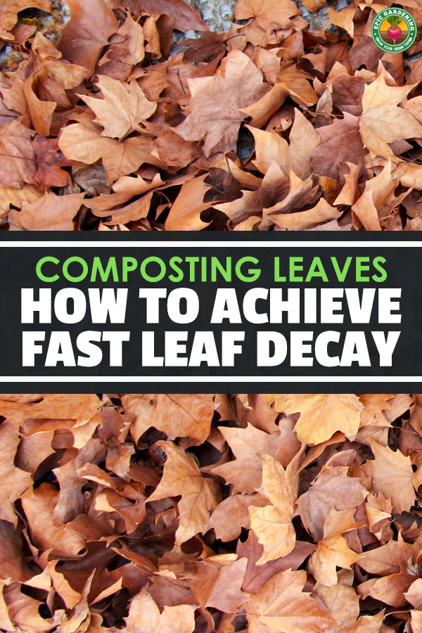 Achieving fast leaf decay when composting can be difficult because leaves take a while to break down. These 4 tips will help you speed up the process.