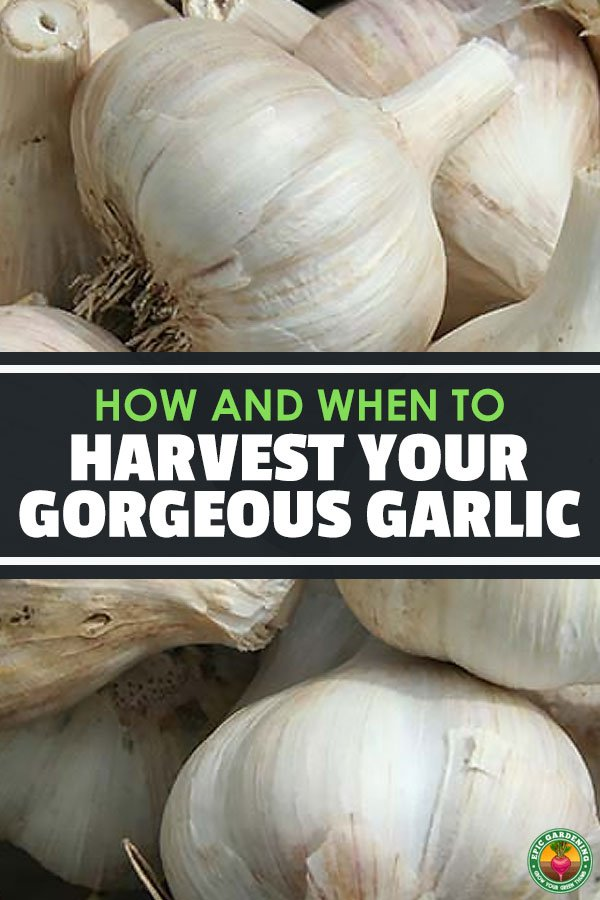 If you have a love affair with garlic like me, learn how and when to harvest garlic to ensure the freshest and best garlic for your cooking.