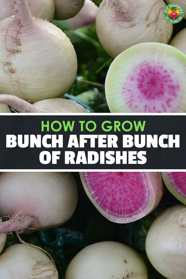 Radishes are one of the fastest and easiest vegetables to grow in your garden, making them great for beginners. Learn how to grow radishes in this guide.