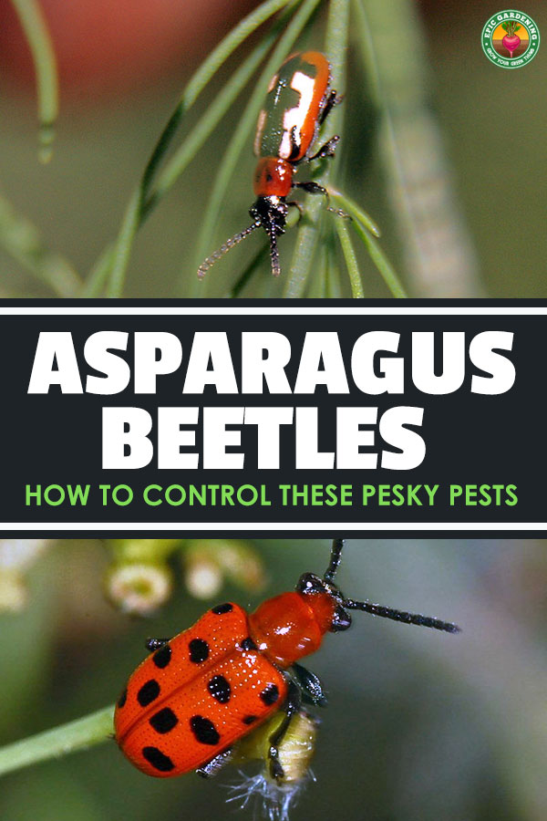 Asparagus takes a while to grow, so nothing is more frustrating than asparagus beetles destroying your precious crop. Get rid of them with these tips.
