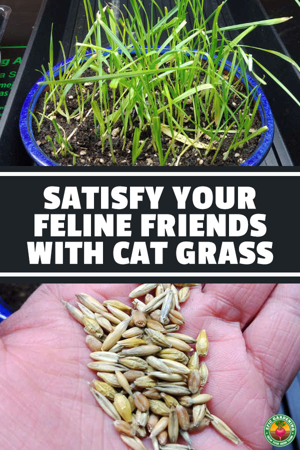 Want to make your cats happy? Grow some cat grass for them! We'll show you multiple methods for keeping your feline overlords satisfied.