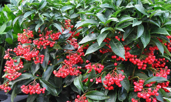 Ardisia Caring For Christmas Berry Plants Epic Gardening