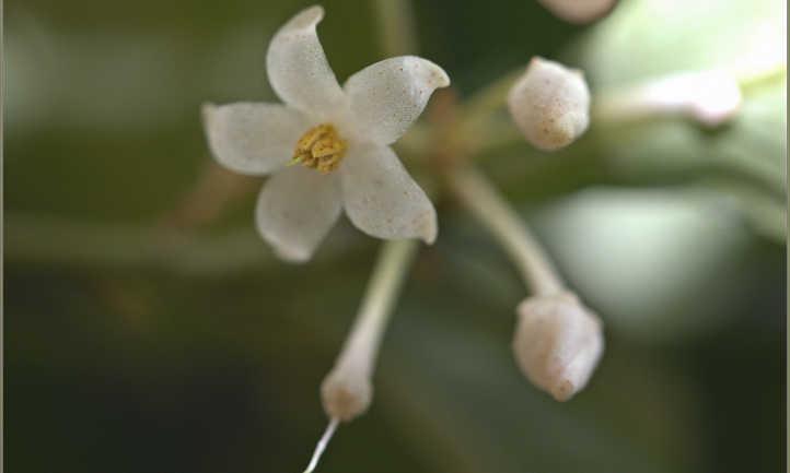 Ardisia crenata flowers