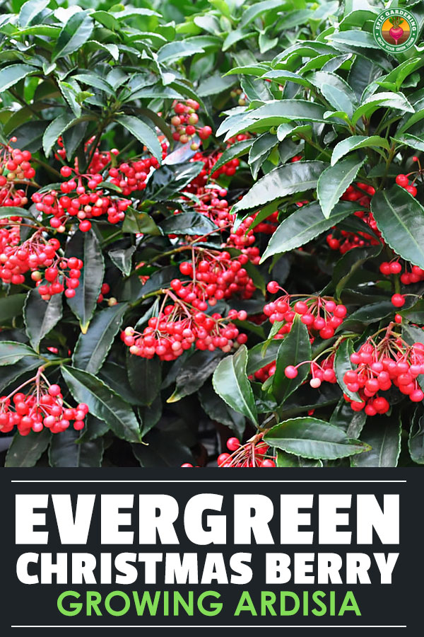 Yes, ardisia can be invasive outdoors. But indoors it\'s a fantastic houseplant. We\'ve got the top tips for growing Christmas berry at home!