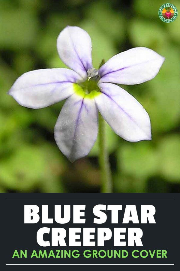 Blue star creeper, also known as Isotoma fluviatilis or swamp isotome, is an easy to care for ground cover. Learn to grow it here.