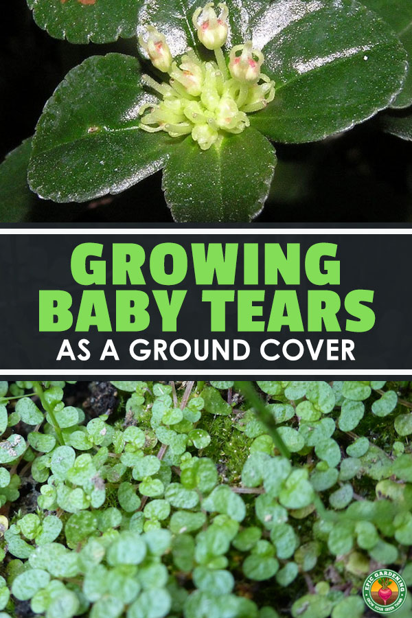 Heard of the baby tears plant? They're a gorgeous ground cover, so learn to care for them in our complete, in-depth guide.