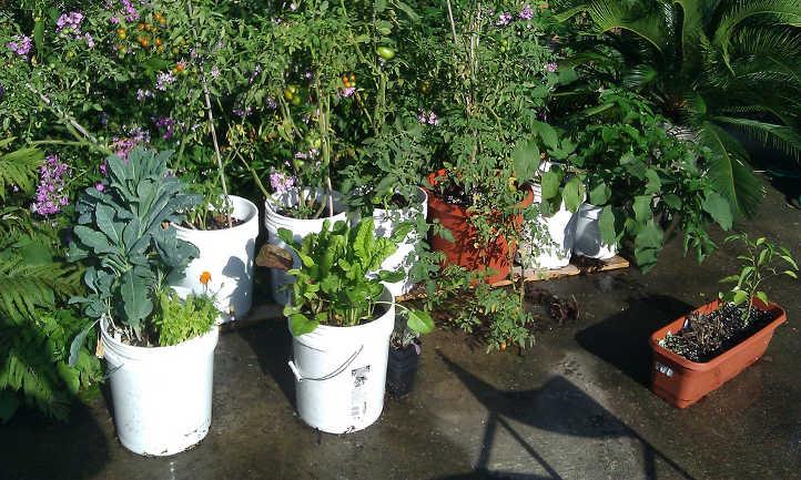 Five gallon buckets make portable planters.