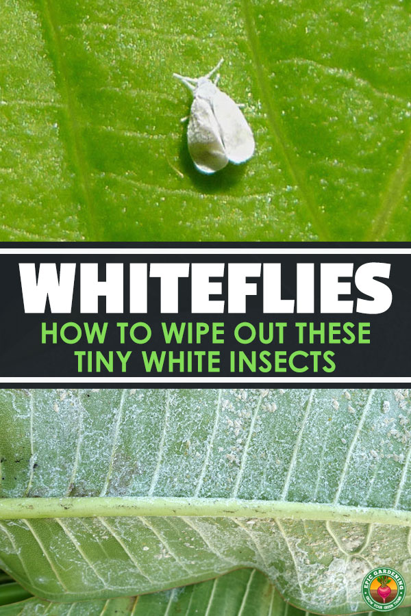 Are you finding tiny white bugs on plant leaves? You may have whiteflies. Learn how to eliminate these sap-sucking pests from your garden or greenhouse!