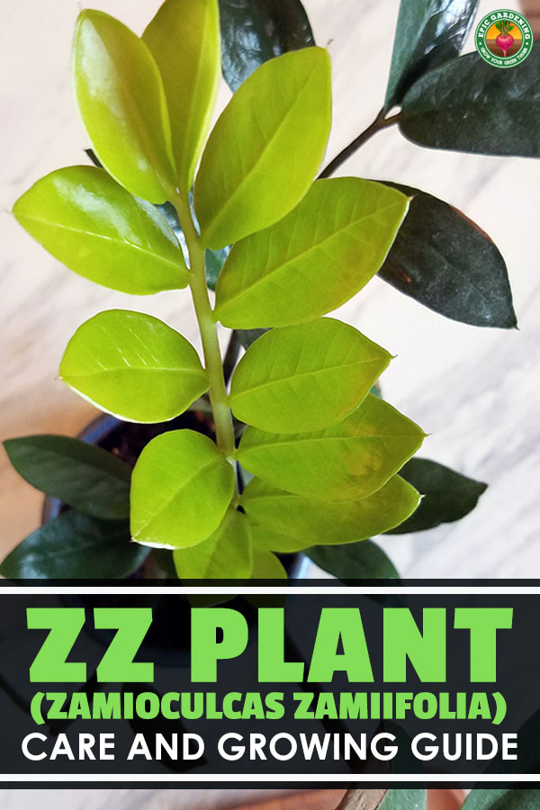 The ZZ plant is the answer to your brown thumb...it\'s one of the easiest houseplants on the planet to grow. Find out exactly how to care for it in this guide.
