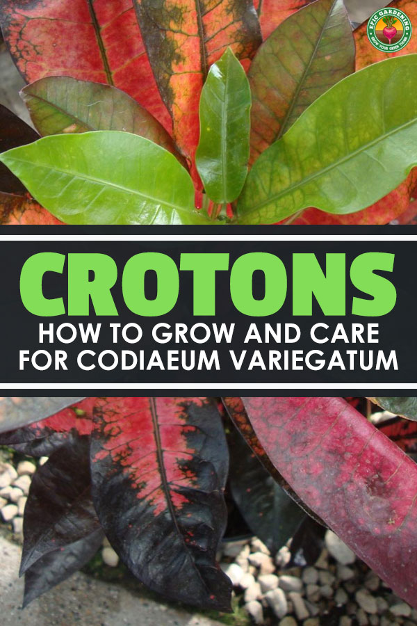 Crotons offer a splash of color to any environment. With thick, leathery leaves that have a shiny surface and that grow in a wide variety of colors, they\'re admired as an ornamental.