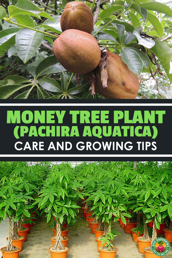 Money tree plant is a beautiful plant indoors and out! Learn all the tricks and tips for growing this lucky plant with our growing guide!