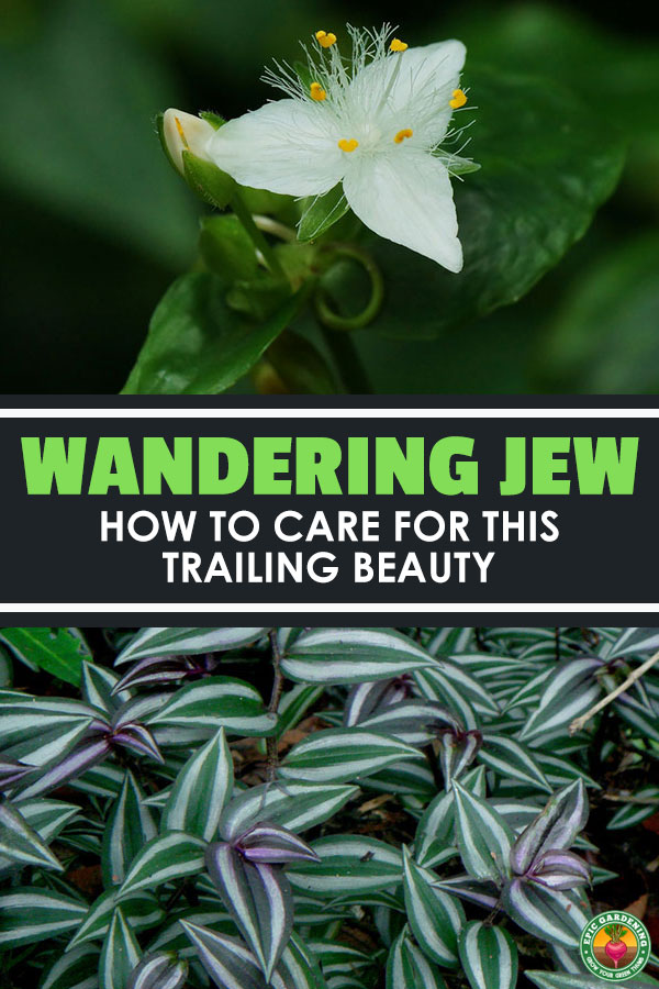 f324b24ef663e The wandering jew plant is not a single plant — it refers to 3 different  types