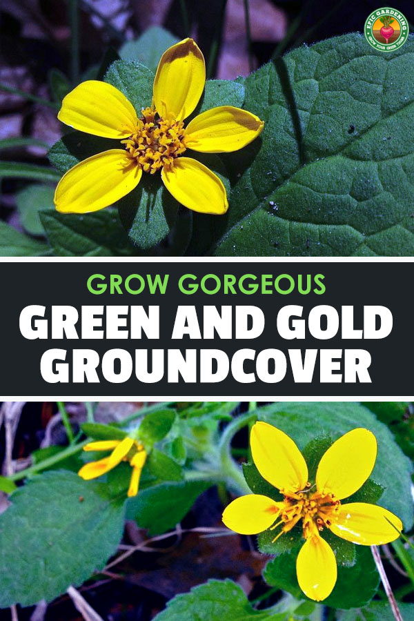 Chrysogonum virginianum, also known as green-and-gold or golden star plant, is a wonderful ground cover with yellow, star-shaped flowers.