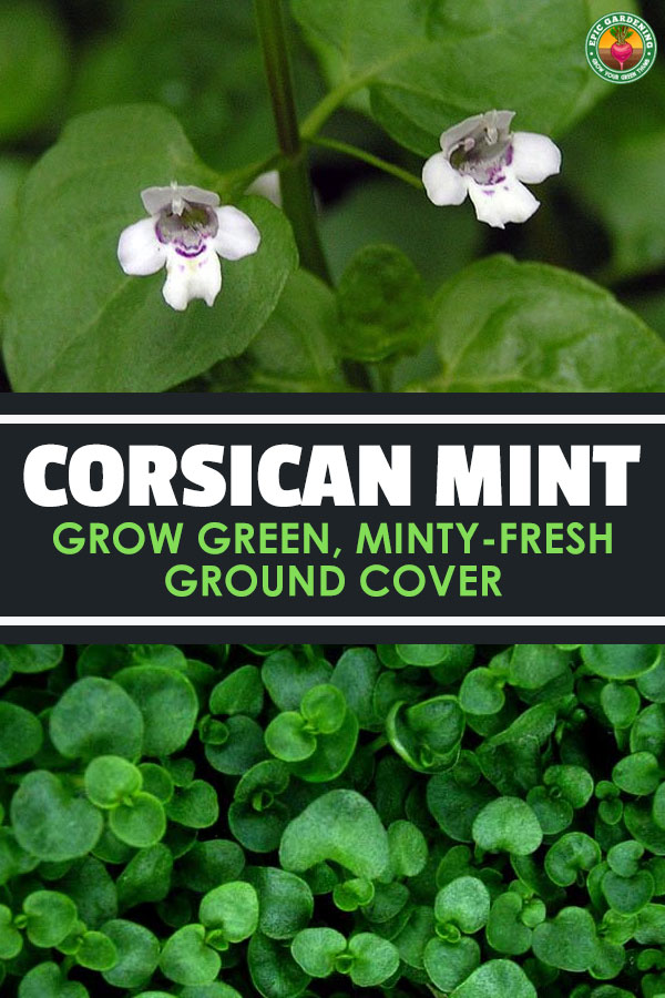 Corsican mint, or Mentha requienii, is an incredibly green and fragrant ground cover plant, perfect for garden paths and walkways.