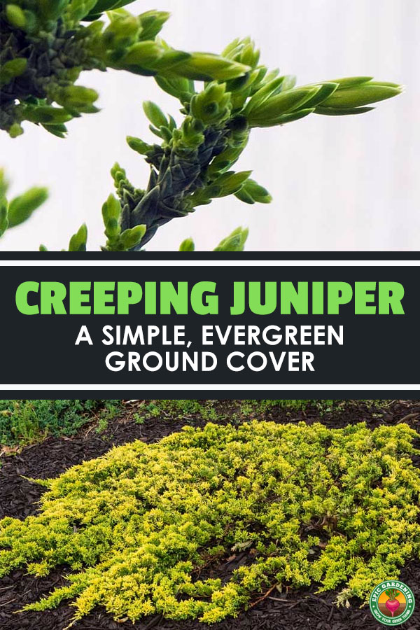 Creeping juniper is a solution for all sorts of landscapes and weather. With drought-tolerance and its evergreen appearance, it's perfect to use as a filler alongside hills and slopes.