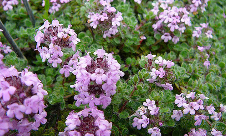 Woolly thyme flowers