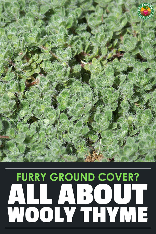 As a ground cover or edging plant, wooly thyme is easy to start and maintain. Our growing guide reveals all the best care tips!