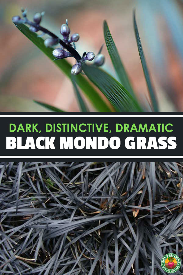 Dark and distinctive, black mondo grass is a fascinating ground cover. Learn how to use it in your garden with our growing guide!