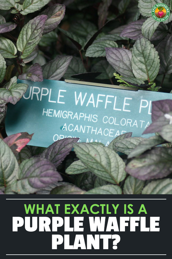 Unusually-shaped leaves and stunning colors are a hallmark of the purple waffle plant. Learn how to care for yours with our in-depth guide!