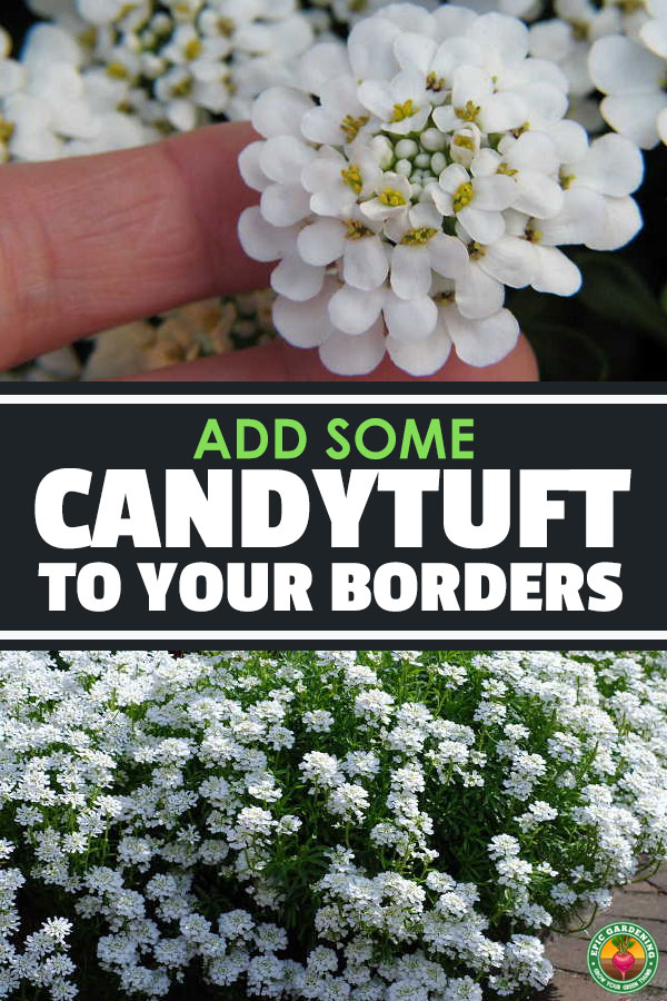 Looking for a low-maintenance plant for borders, or a good erosion-control ground cover for areas with no foot traffic? Consider candytuft!