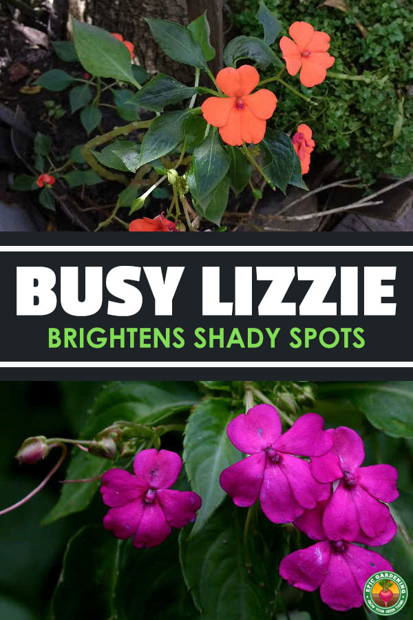 Brightly-flowered impatiens walleriana is perfect in your shaded beds or as a partial-light ground cover. We\'ve got the top growing tips!