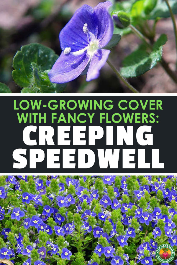 Lovely creeping speedwell can be the perfect landscaping ground cover. We\'ll show you how to care for it and prevent unwanted spread!