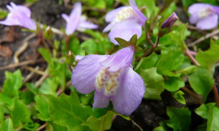 Mazus flowers