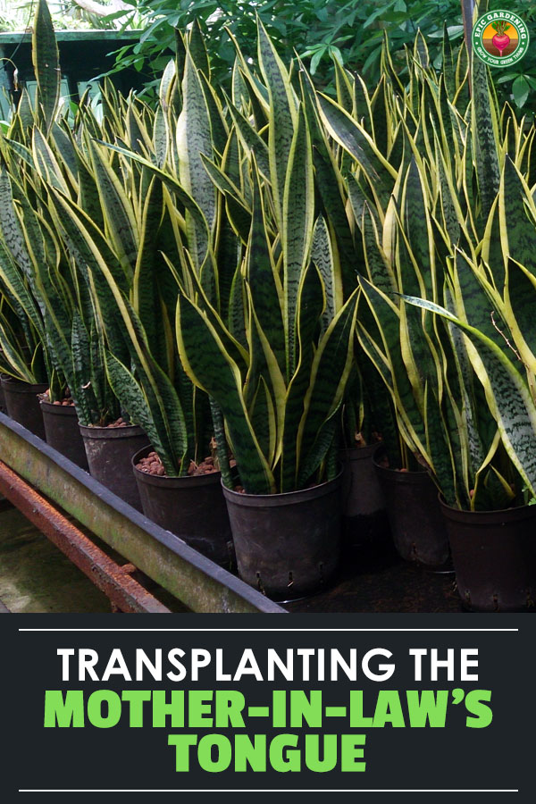 Repotting snake plant isn\'t tricky if you follow these tips. Learn how to transplant your mother-in-law\'s tongue, as well as how to divide it!