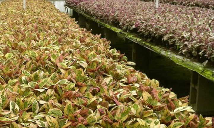 Other waffle plant cultivars