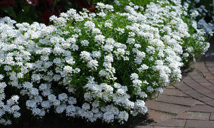 Candytuft Easy Growing Perennial Border Plants Epic Gardening