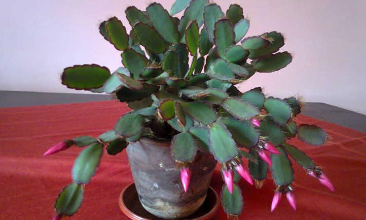 Easter cactus hybrid
