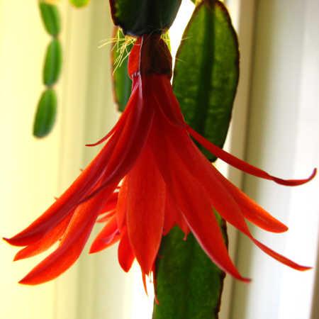 Hatiora gaertneri flower
