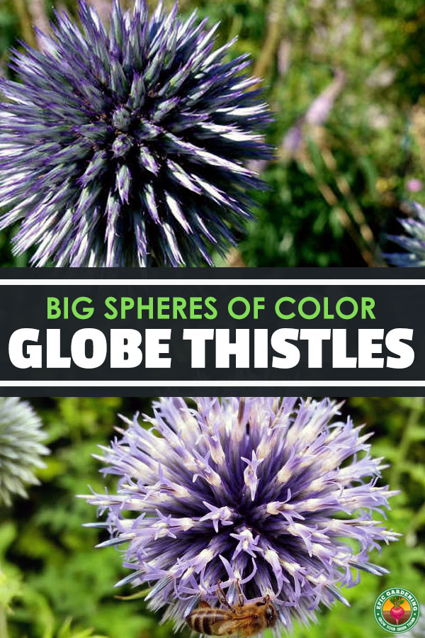 Get stunning spheres of color in your garden by growing globe thistle! Our growing guide walks you through this easy-growing perennial.