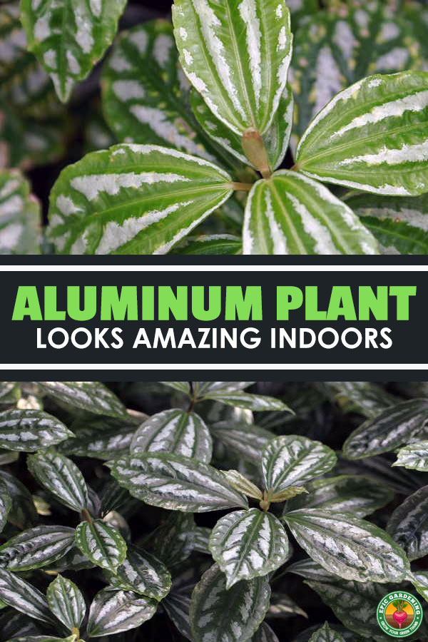 The aluminum plant, pilea cadierei, is a fantastic houseplant. We\'ll walk you through all the care steps you\'ll need for good plant growth!