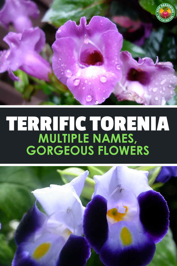 Torenia is a stunning addition to a shade garden. Whether you call it wishbone flower or another name, our tips will help you grow it right!