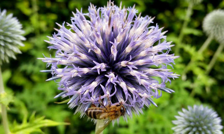 Globe thistle closeup