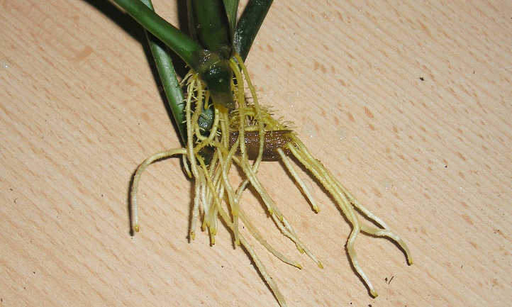 Prayer plant propagation