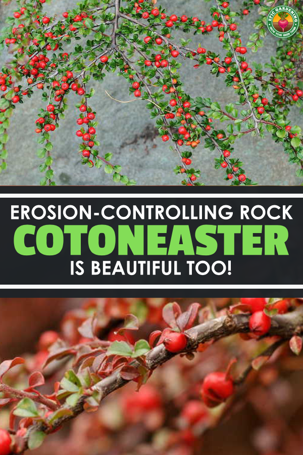 Cotoneaster horizontalis, or rockspray cotoneaster, is a fantastic border shrub. With our tips, growing this plant is simple!