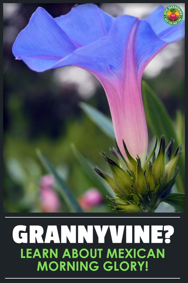 Ipomoea tricolor, the Mexican morning glory or grannyvine, is a lovely trellising plant. Our growing guide teaches you all you need to know!